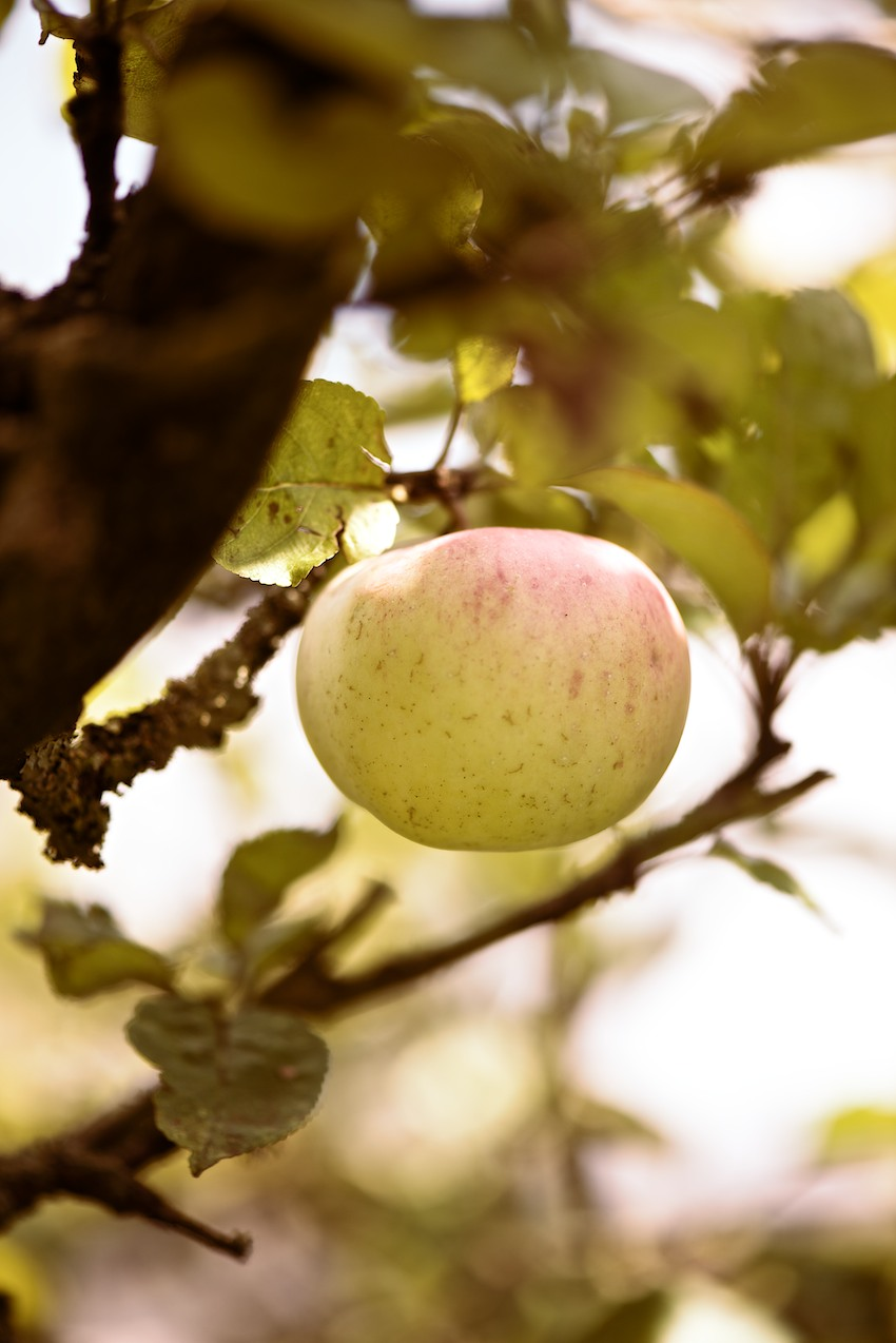 apple harvest Germany, Apfelernte