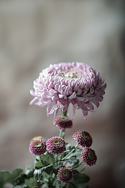 Chrysanthemum, Chrysanthemen
