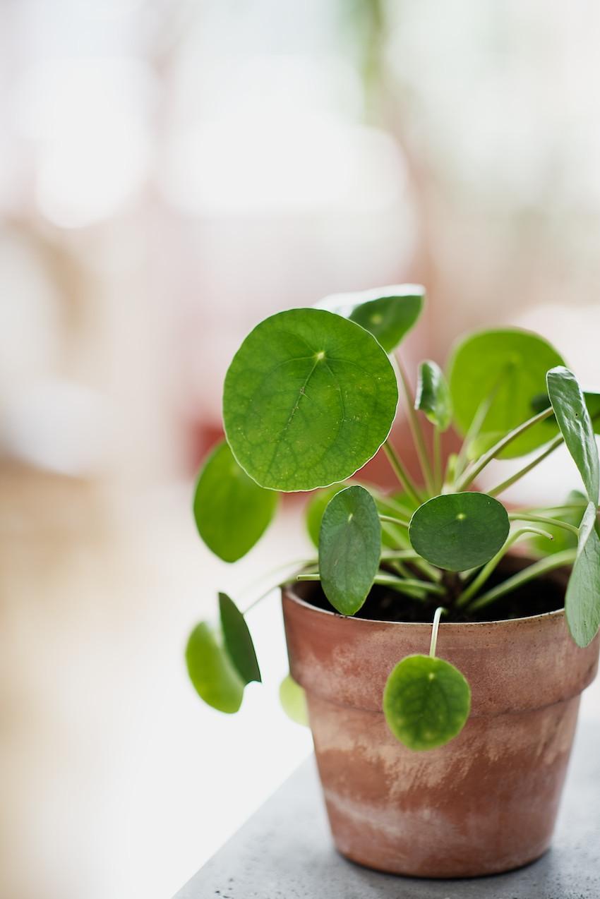 Pilea peperomioides ufopflanze chinesischer geldbaum for Plante pilea