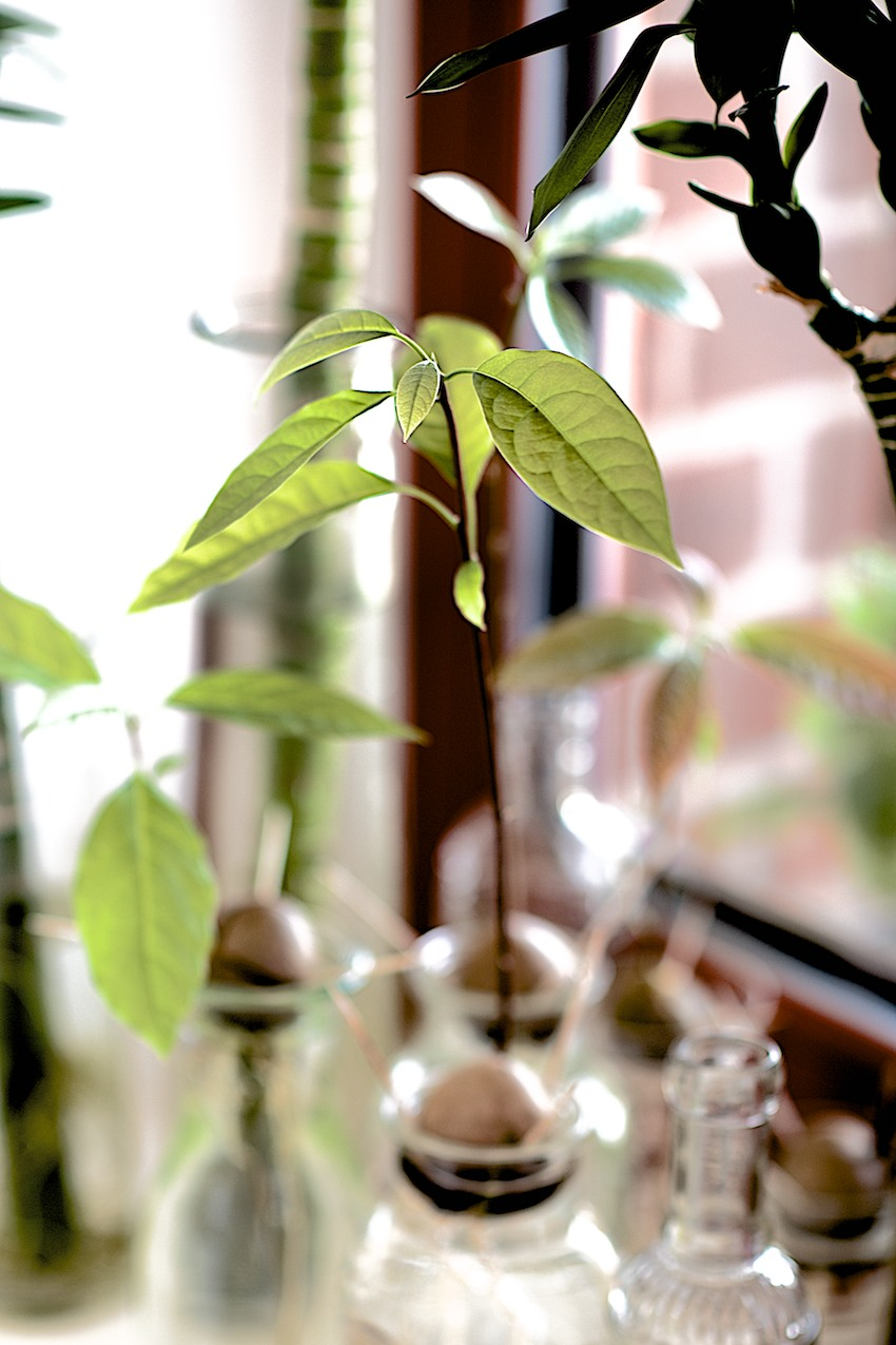 How to grow an Avocado from a seed